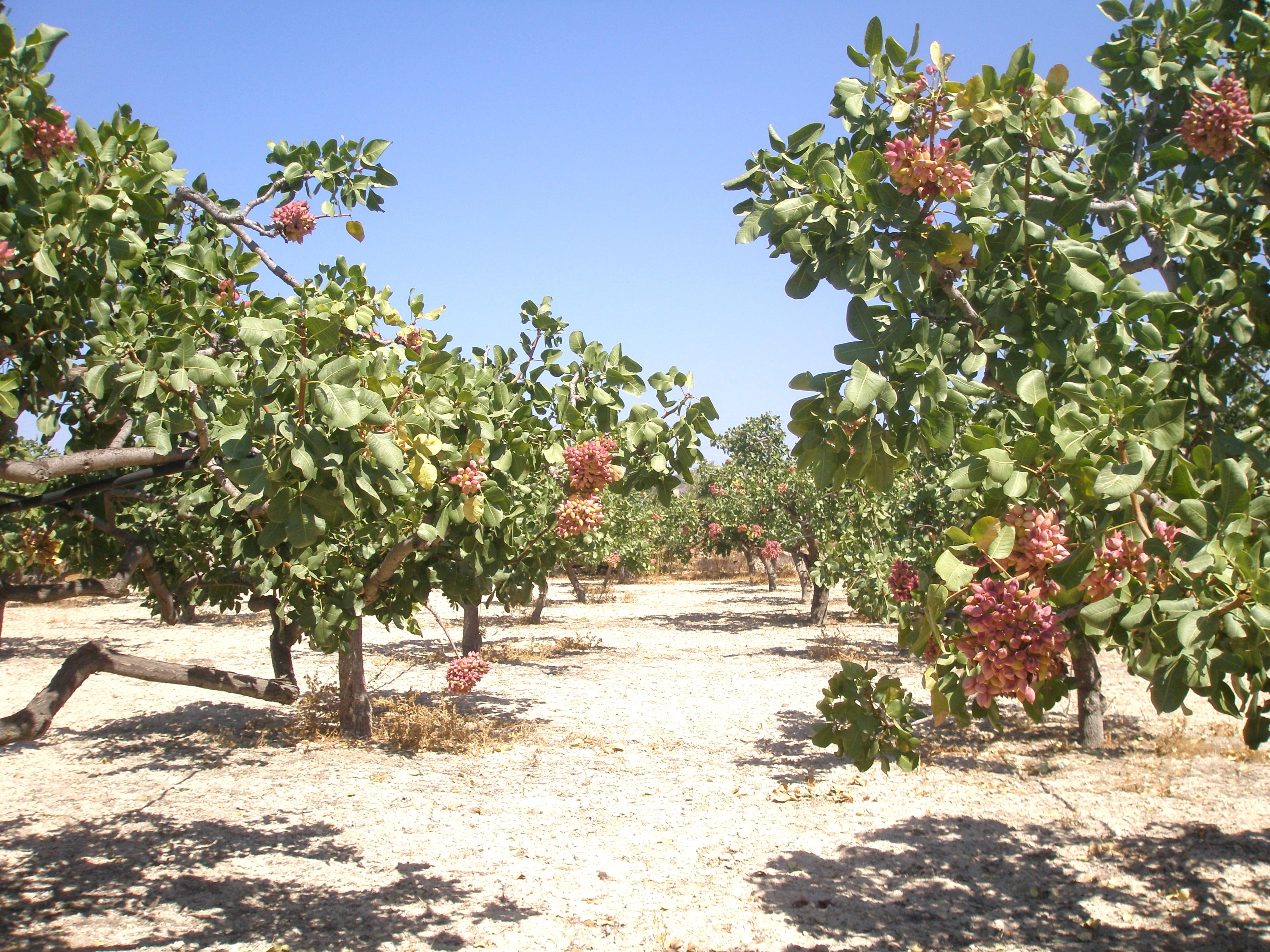 how to grow pistachio nut trees