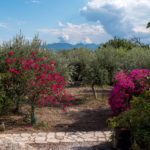 22-OLIVE TREES AND BOUGAINVILLEA SHRUBS